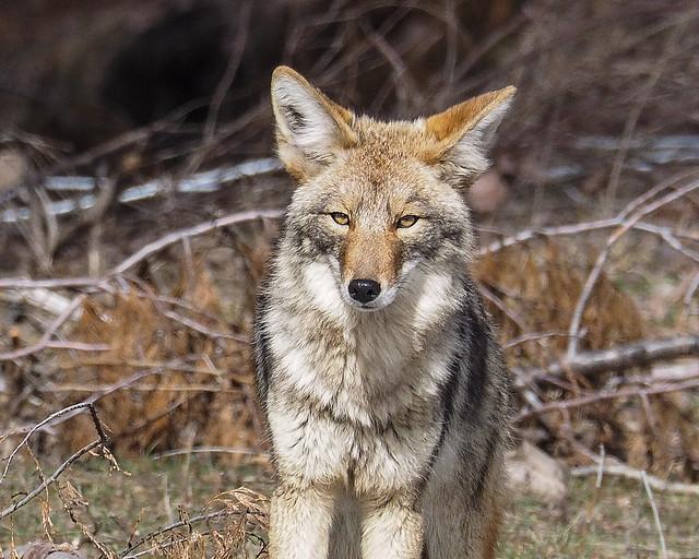 Coyote in Winter's coat
