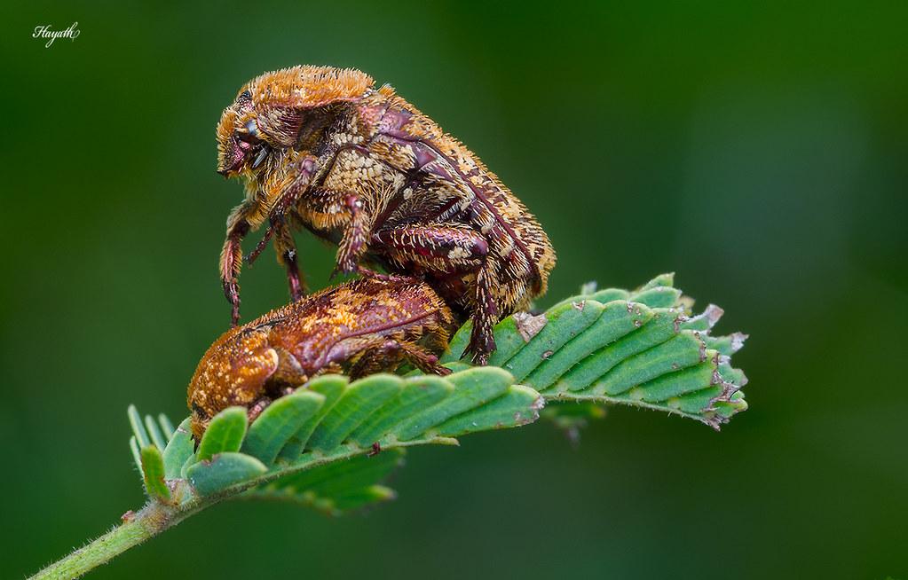 Mating Chafer beetles