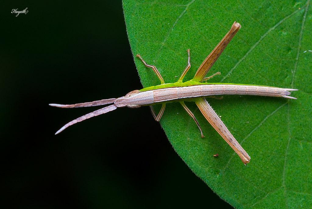 Grasshopper, dual tones