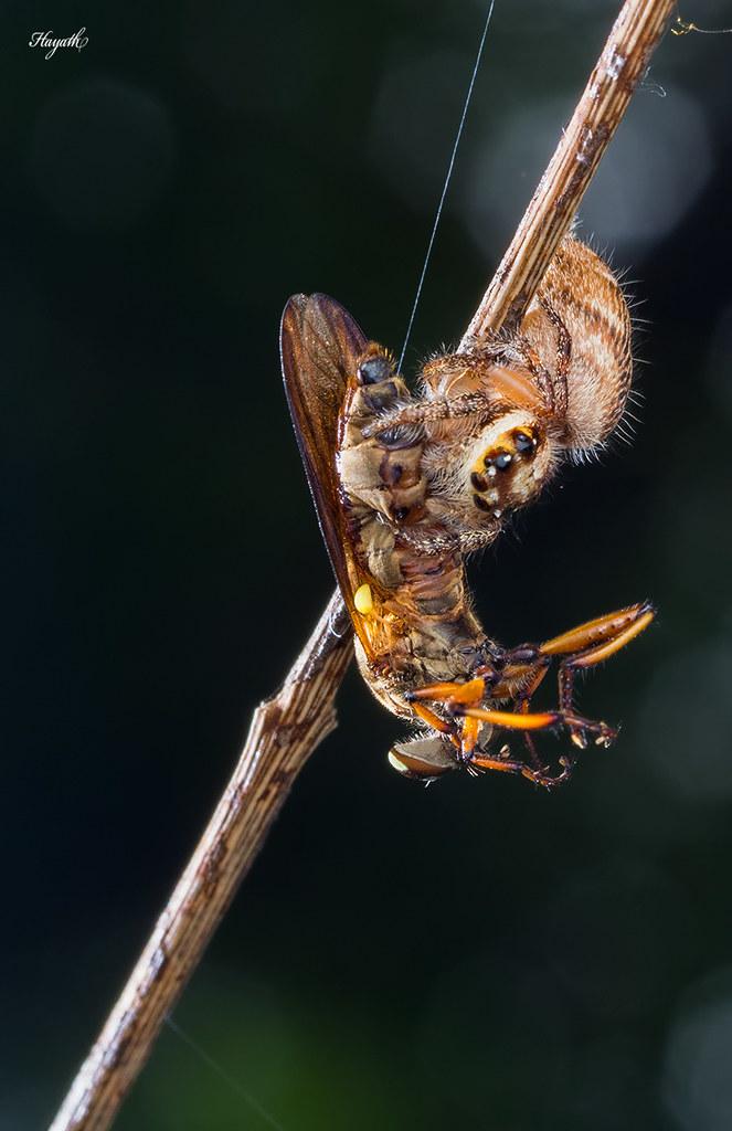 Predating on the predator! Hyllus with robberfly kill
