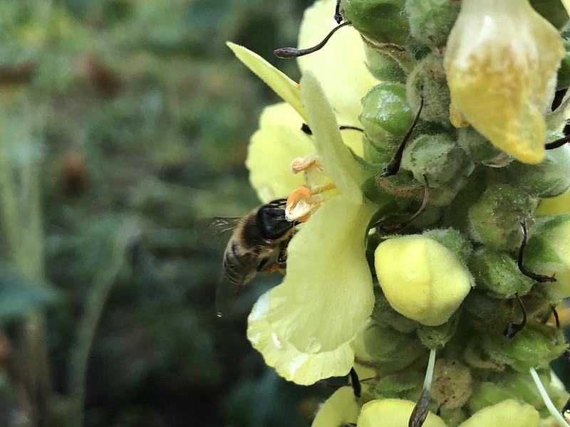 Bee on Mullein