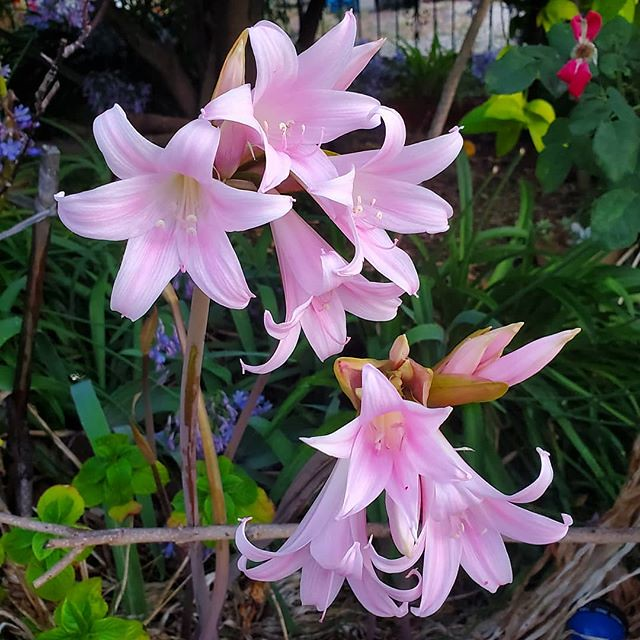 Our Naked Ladies (Amaryllis belladonna) are also blooming. #amaryllis #amaryllisbelladonna #nakedlady #nakedladies #flower #flowers #bloom #blooms