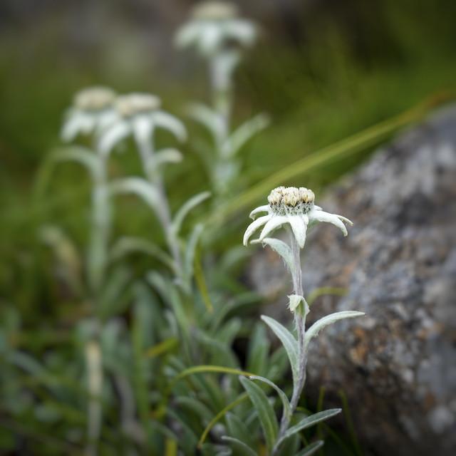Alpine flora on the rocky mountain