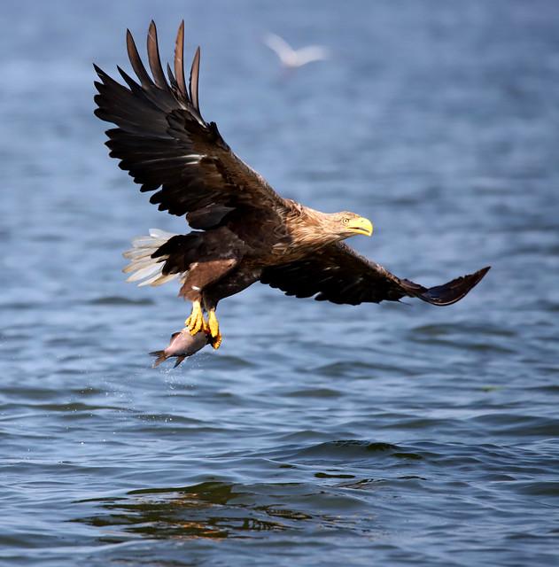 White-tailed Eagle, Poland