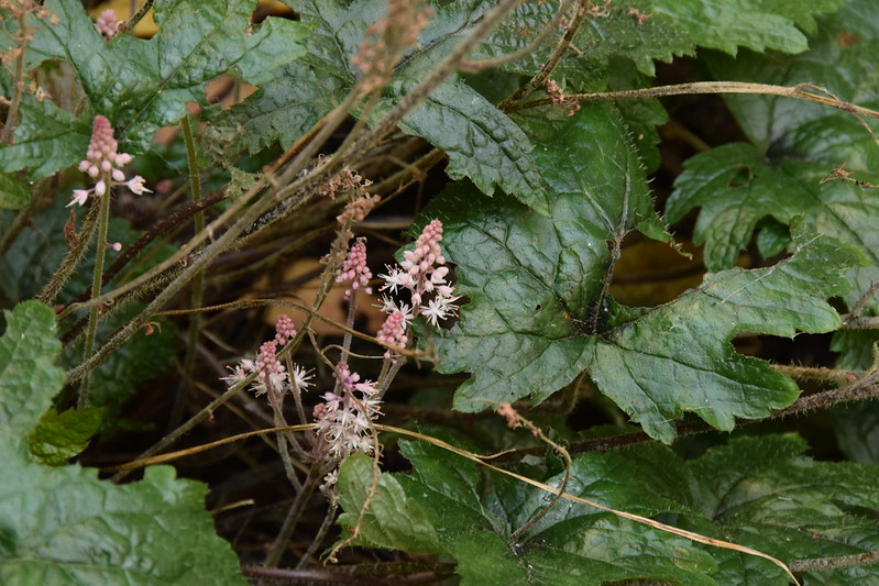 Unexpected second wave of tiarella flowers at the end of July