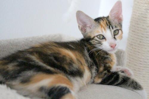 Rinah, gatita tricolor Calicó guapa y divertida esterilizada, nacida en Mayo´19, en adopción. Valencia. 48403113906_4b9e46c16b