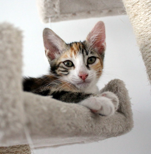 Rinah, gatita tricolor Calicó guapa y divertida esterilizada, nacida en Mayo´19, en adopción. Valencia. 48403114811_b9c041f87c