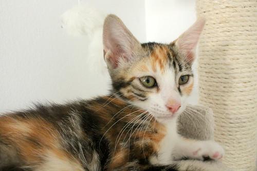 Rinah, gatita tricolor Calicó guapa y divertida esterilizada, nacida en Mayo´19, en adopción. Valencia. 48403258107_46d63aef6a