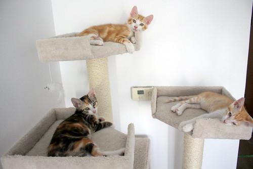 Rinah, gatita tricolor Calicó guapa y divertida esterilizada, nacida en Mayo´19, en adopción. Valencia. 48403260017_6fb70a2079