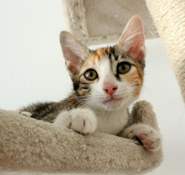 Rinah, gatita tricolor Calicó guapa y divertida esterilizada, nacida en Mayo´19, en adopción. Valencia. 48403262032_11485d4e85_z