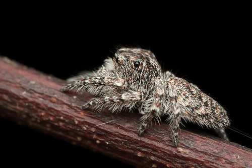 Jumping Spider - Cytaea sp