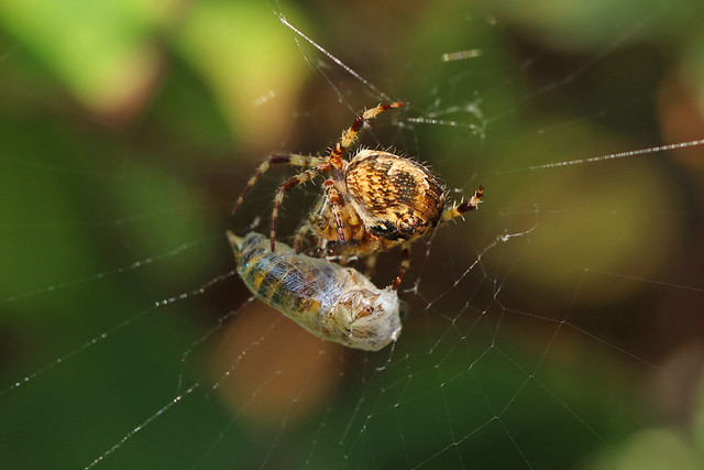 The top predator (orb-weaver with wasp)