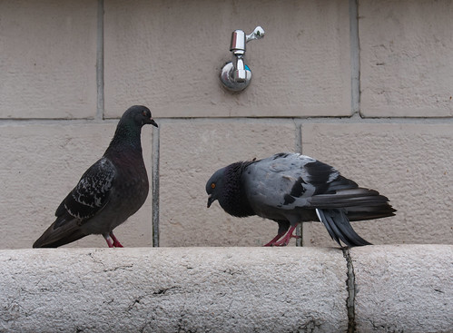bird mating seduce lovedance pigeon