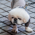 2019 - Japan - Naha - 4 - Walkin the Dog A cutie passed on Naha's main street Kokusai-dōri.
