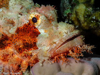 Bearded lionfish shaab maksour-7200134.jpg