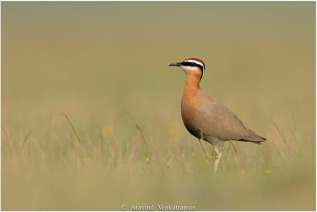 Indian Courser