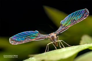 Derbid planthopper (Derbidae) - DSC_5722