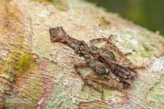 Planthopper nymph (Fulgoridae) - DSC_5796