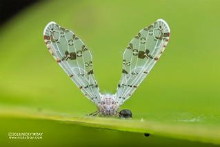 Derbid planthopper (Derbidae) - DSC_5747