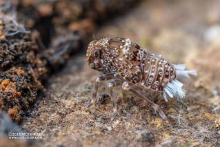 Derbid planthopper nymph (Derbidae) - DSC_5735