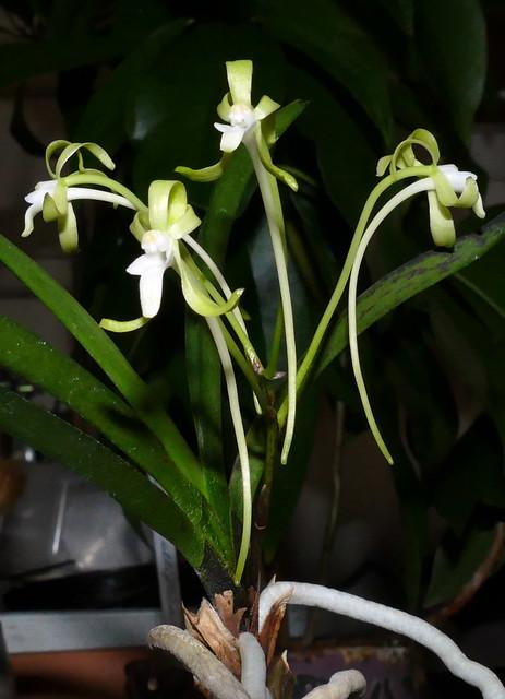 Vanda (Neofinetia) falcata 'Hisui' species orchid, 2nd bloom  6-19*