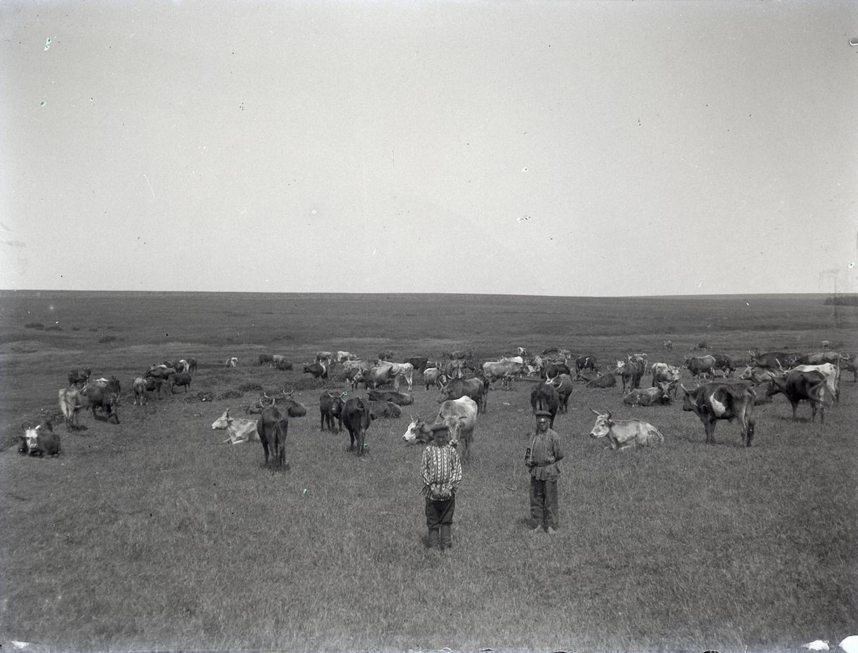 18. 1897. Мальчишки-пастухи со стадом коров