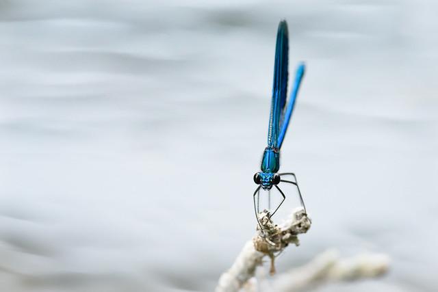Gebänderte Prachtlibelle (Calopteryx splendens) 0426