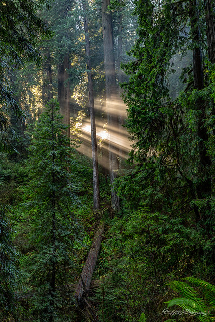Daybreak in Jedediah Smith Redwoods State Park