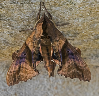 Blinded Sphinx Moth - Paonias excaecata