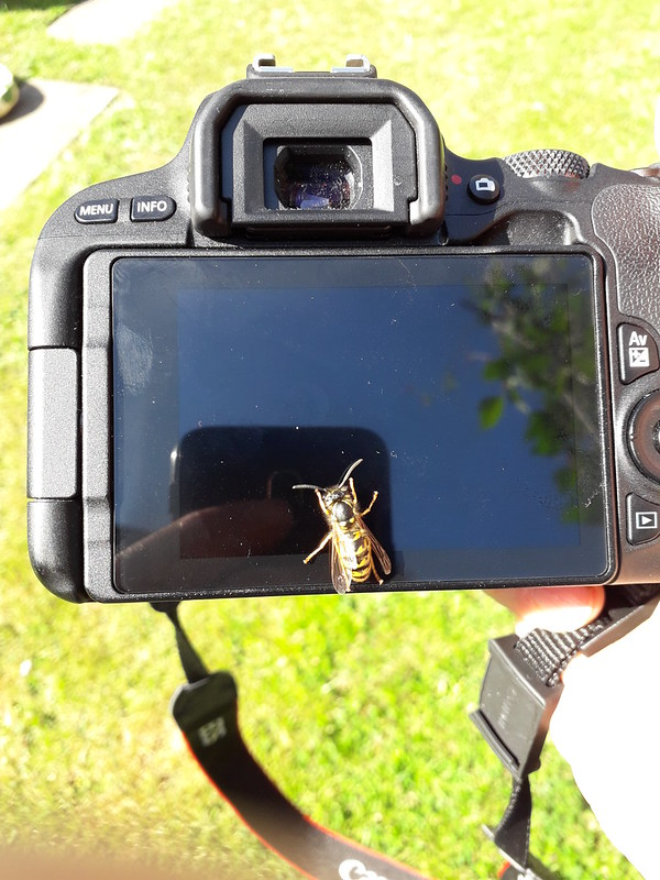 A Nosey Wasp