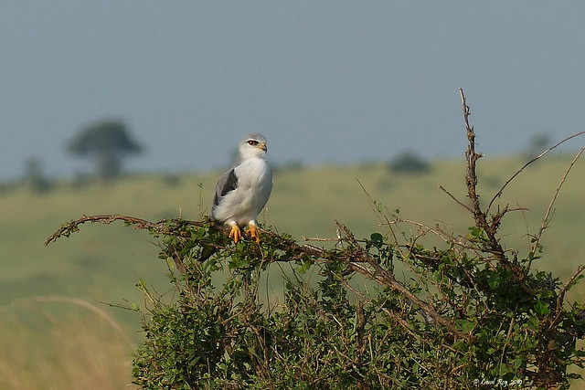 1.02275 Élanion blanc / Elanus caeruleus caeruleus / Black-shouldered Kite