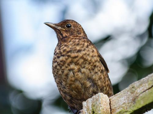 juvenile blackbird 02