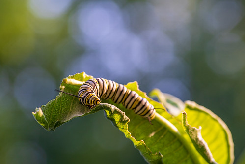 Monarch Caterpillar feeding on Milkweed | by UnderOpenWater