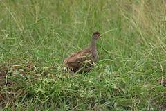 1.00982 Francolin à gorge rouge / Pternistis afer cranchii / Red-necked Spurfowl