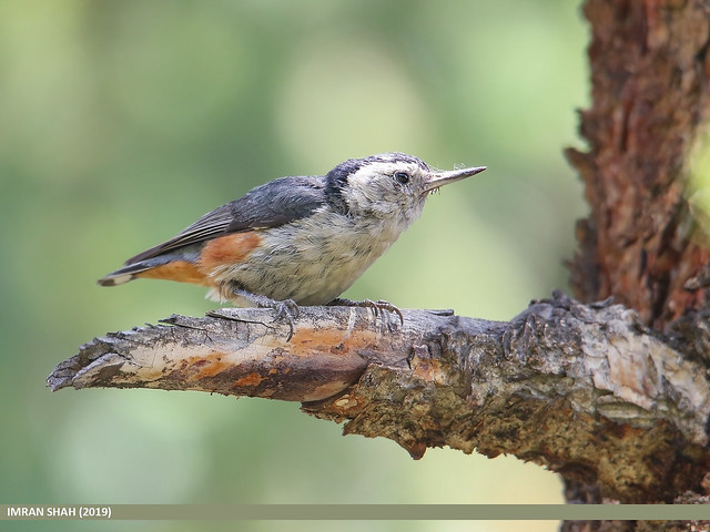 White-cheeked Nuthatch (Sitta leucopsis)