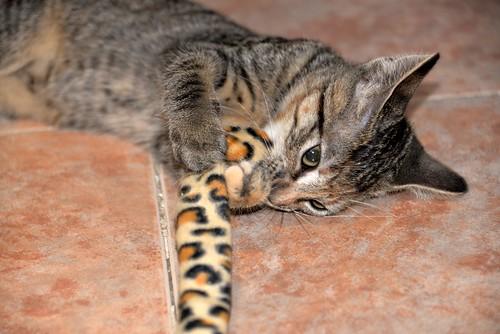 Donatella, gatita parda dulce y guapetona nacida en Abril´19, en adopción. Valencia. ADOPTADA. 48408450511_1cec8dd8d8