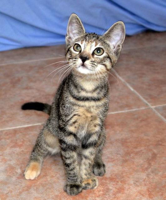 Donatella, gatita parda dulce y guapetona nacida en Abril´19, en adopción. Valencia. ADOPTADA. 48408451476_4c85a042ed_z