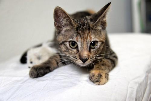 Donatella, gatita parda dulce y guapetona nacida en Abril´19, en adopción. Valencia. ADOPTADA. 48408597687_b361f37fac