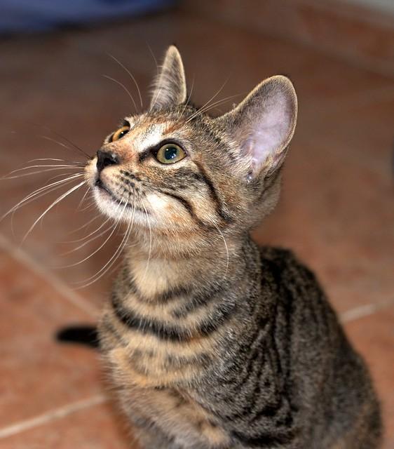 Donatella, gatita parda dulce y guapetona nacida en Abril´19, en adopción. Valencia. ADOPTADA. 48408599842_0068064f06_z