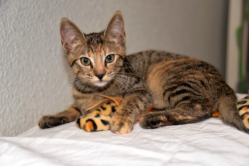 Donatella, gatita parda dulce y guapetona nacida en Abril´19, en adopción. Valencia. ADOPTADA. 48408601822_8ed5051cc5