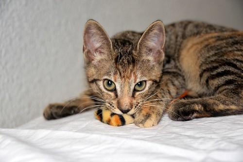Donatella, gatita parda dulce y guapetona nacida en Abril´19, en adopción. Valencia. ADOPTADA. 48408602137_258e70c736