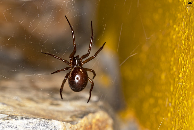 Viúva-de-patas-vermelhas, Noble false widow (Steatoda nobilis)