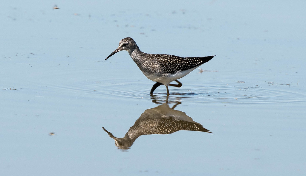 Yellowlegs (1 of 1)