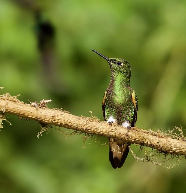 Buff-tailed Coronet , Mindo Ecuador