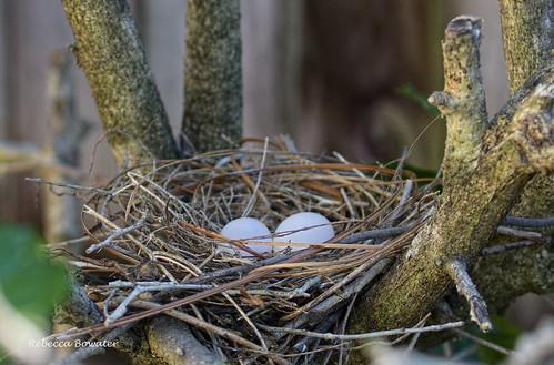 Bar-shouldered Doves nest