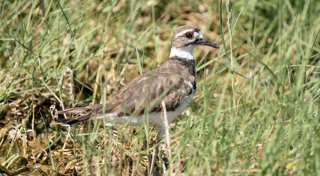 Kildeer (1 of 1)