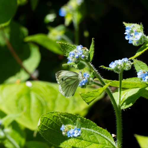 Green-veined white butterfly on canalside alkanet