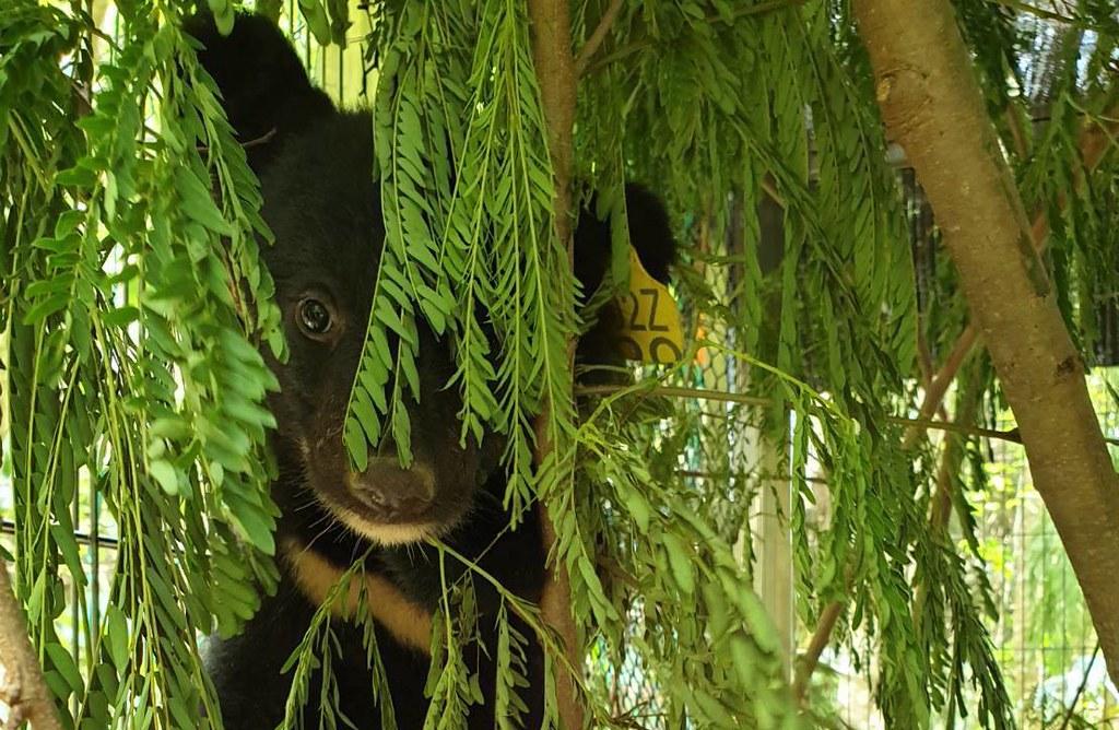 移籠第一天。持續等待熊媽媽出現。圖片提供:台東林管處。
