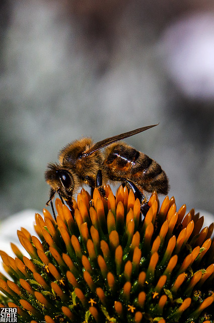Seattle_Woodland Rose Garden_Bee Macro