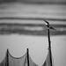 Pied Kingfisher - BW